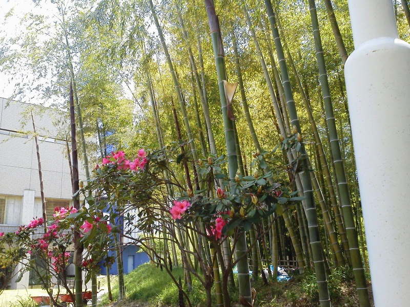 春・竹の子とシャクナゲ_(3)