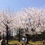 桜が咲いています!!