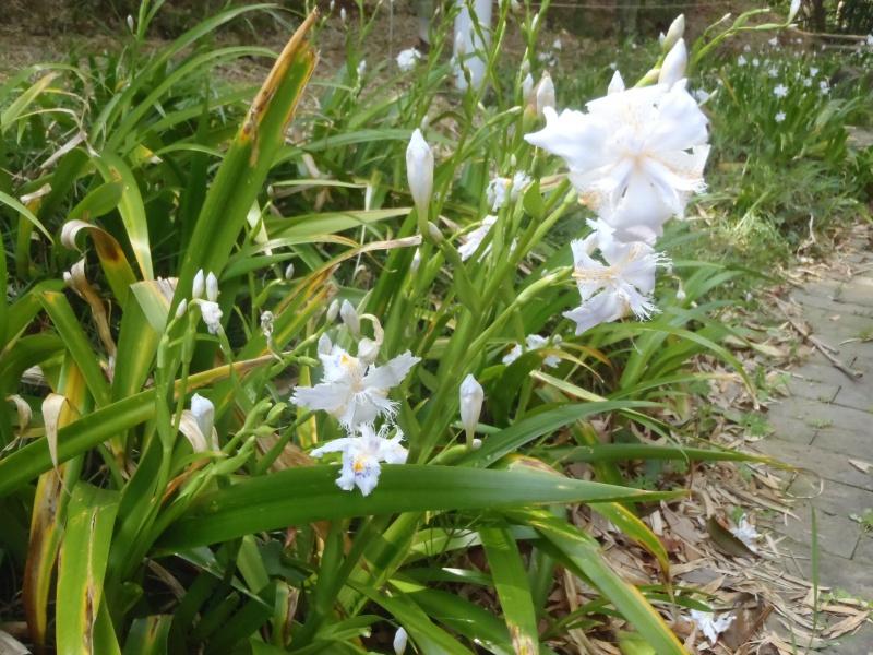 シャガの花P4122352