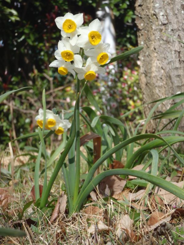 香の庭 水仙